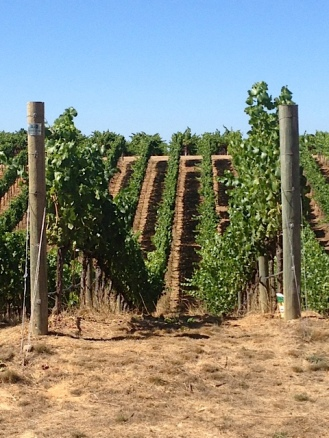 The rolling vineyards at Paul Hobbs